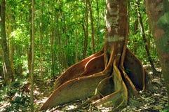 Árvore de figo madura do Strangler Imagens de Stock