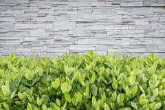 Árvore de Ixora Flor tropical na decoração do jardim e no wa da pedra Imagem de Stock
