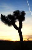 Árvore de Joshua Fotografia de Stock