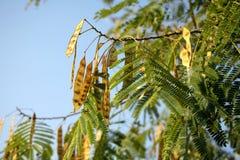 Árvore de locustídeo Imagem de Stock Royalty Free