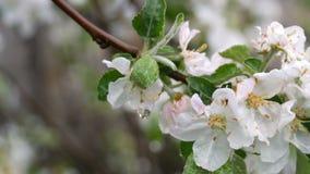 ?rvore de ma?? de floresc?ncia ap?s a chuva Flores de Apple nos pingos de chuva na mola filme