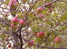 Árvore de maçã selvagem Fotografia de Stock