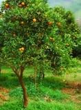 Árvore de mandarino Fotografia de Stock Royalty Free