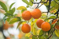 Árvore de mandarino Fotografia de Stock