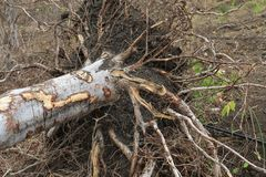 Árvore de Palo Santo pronta para colher Fotos de Stock Royalty Free