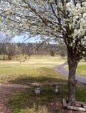 Árvore de pera de florescência na mola Fotografia de Stock Royalty Free