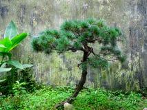 Árvore de pinho Fotos de Stock Royalty Free