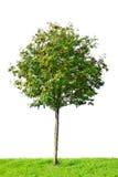 Árvore de Rowan Foto de Stock Royalty Free