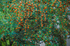 Árvore de Rowan Imagens de Stock