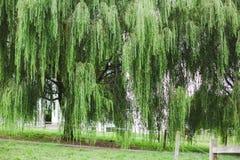 Árvore de salgueiro no país de Amish Fotos de Stock