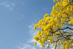 Árvore de Tabebuia Fotos de Stock