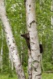 Árvore de vidoeiro de escalada de Cub de urso preto Fotografia de Stock Royalty Free