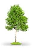 Árvore de vidoeiro isolada no branco Imagens de Stock