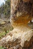 ?rvore desbastada para baixo pelo castor para construir uma represa imagens de stock