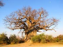 Árvore do Baobab Fotografia de Stock Royalty Free
