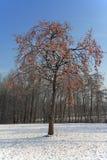 Árvore do caqui no inverno Imagens de Stock Royalty Free
