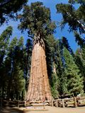 A árvore do general Sherman Fotos de Stock