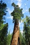 Árvore do general Sherman na floresta gigante do parque nacional de sequoia Fotografia de Stock