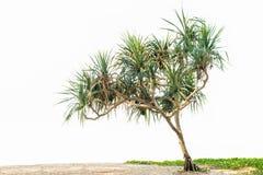 Árvore do Pandanus Fotos de Stock Royalty Free