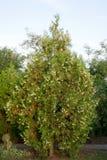 Árvore do Thuja Imagem de Stock Royalty Free