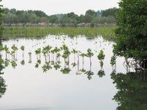 ?rvore dos manguezais na reflex?o intertidal da floresta na ?gua imagem de stock