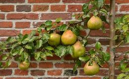 Árvore dos pares. Imagens de Stock