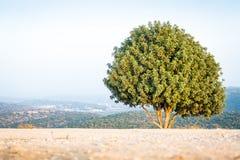 Árvore israelita na montagem Azeka, montanhas de Judean Fotografia de Stock Royalty Free