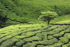 Árvore na plantação de chá Fotos de Stock Royalty Free