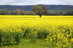 Árvore no meio do Canola dourado de florescência Fotografia de Stock