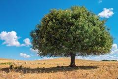 Árvore no sol, Marrocos do argão Fotografia de Stock Royalty Free