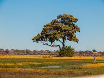 Árvore solitária em pântanos de Savuti Fotografia de Stock