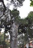 ?rvore velha preservada no jardim imperial da Cidade Proibida do Pequim fotografia de stock royalty free