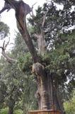 ?rvore velha preservada no jardim imperial da Cidade Proibida do Pequim fotos de stock