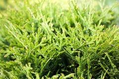 Árvore verde do thuja Fotografia de Stock