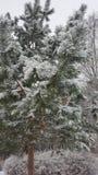 Árvore verde sob a neve Imagens de Stock
