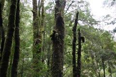 ?rvores altas na floresta tasmaniana fotos de stock royalty free