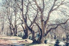 ?rvores antigas com ramos desencapados de encurvamento nodosos sem folhas foto de stock