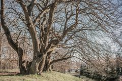 ?rvores antigas com ramos desencapados de encurvamento nodosos sem folhas foto de stock royalty free