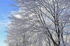 Árvores com neve contra um céu azul Foto de Stock Royalty Free