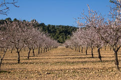 Árvores de amêndoa na flor Fotos de Stock Royalty Free