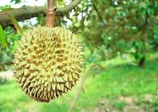 Árvores de Durian no jardim de Rayong, Fotos de Stock Royalty Free