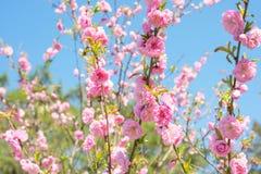 Árvores de florescência na mola Imagem de Stock Royalty Free