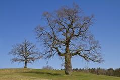 Árvores de folhas mortas Fotografia de Stock Royalty Free