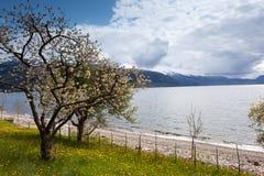 Árvores de fruta que florescem Foto de Stock Royalty Free