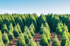 Árvores de Natal na terra vermelha na exploração agrícola, lado do país Imagens de Stock
