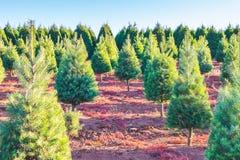 Árvores de Natal na terra vermelha na exploração agrícola, lado do país Imagens de Stock Royalty Free