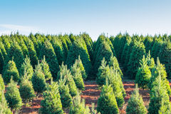Árvores de Natal na terra vermelha na exploração agrícola, lado do país Fotografia de Stock