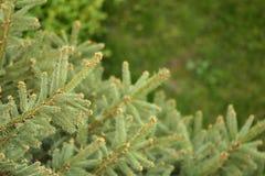Árvores de pinho Foto de Stock