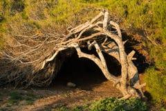 Árvores de pinho Windswept Fotografia de Stock