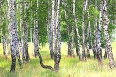 ?rvores de vidoeiro com a casca de vidoeiro preto e branco foto de stock royalty free